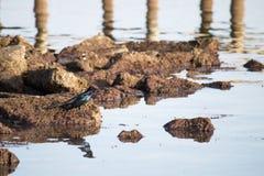 Mirlo en rocas Fotografía de archivo libre de regalías