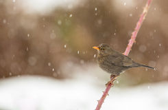 Mirlo femenino debajo de la nieve Fotografía de archivo libre de regalías