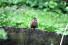 Mirlo joven en la cerca de madera Fotos de archivo