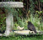 Mirlo masculino común o eurasiático que se coloca en un baño del pájaro y un x28; Merula& x29 del Turdus; Foto de archivo libre de regalías