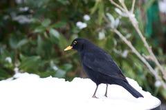 Mirlo masculino en la nieve con el gusano Imagenes de archivo
