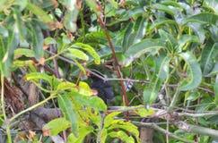 Mirlo masculino encubierto en arbusto fotografía de archivo