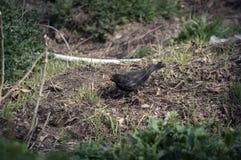 Mirlo (merula del Turdus) que mira la hierba corta para la comida para sus jóvenes fotos de archivo