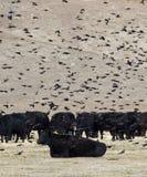 Mirlo y vacas negras Fotos de archivo libres de regalías