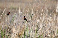 Mirlos de alas rojas, Savannah National Wildlife Refuge Fotos de archivo