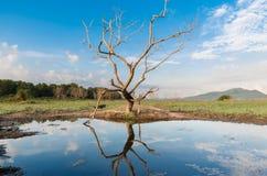 Miroir d'arbre mort Photographie stock
