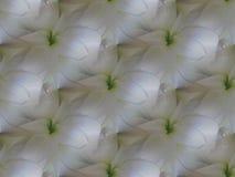 Miroiter l'amaryllis blanche fleurit avec la répétition vert clair diagonalement Image libre de droits