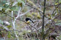 South island Tomtit at Blue Pools on Haast Pass New Zealand. Miromiro or Tomtit at Blue Pools in Mount Aspiring National Park on the South Island of New Zealand royalty free stock image