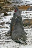 mirounga leonina слона герметизирует южную Стоковые Изображения