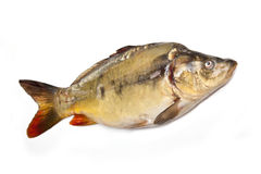 Mirror Carp Royalty Free Stock Images
