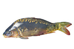 Mirror carp Royalty Free Stock Image