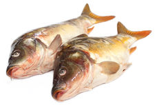 Mirror Carp Stock Images