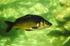 Mirror carp. Latin name Cyprinus carpio specularis underwater Royalty Free Stock Photo