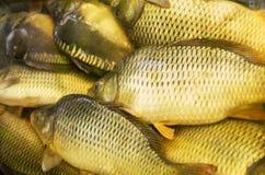 Mirror carp and common carp fresh live fish close-up Royalty Free Stock Photos
