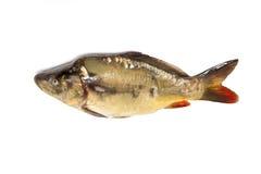 Mirror Carp fish Royalty Free Stock Photos