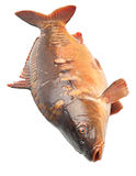 Mirror carp river fish Royalty Free Stock Photo