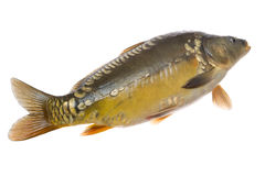 Mirror carp on white Royalty Free Stock Images