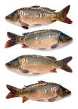 Mirror carps collection Stock Photos