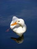 Mirror Duck royalty free stock photo