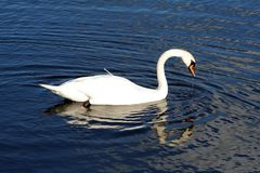 Mirror Image. Swimming swan's image is reflected in the water Royalty Free Stock Image