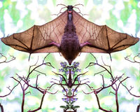 Mirror image of a bat hanging upside with wings spread Royalty Free Stock Photos