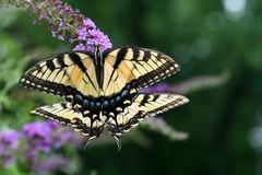 Mirror image: pair of female Tiger Swallowtail butterflies feed together. Two Swallowtail butterflies seems to mirror each other`s posture as they feed on a Stock Photo