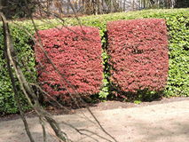 Mirror image red bushes surrounded by greenery Stock Image