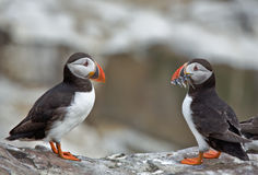 Mirror, mirror. Two Atlantic puffins are a reflection of North Sea fish stocks Royalty Free Stock Image