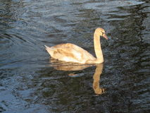 Mirror,mirror. Baby swan looking for some food Stock Image