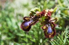Mirror Orchid - Ophrys vernixia Royalty Free Stock Photo