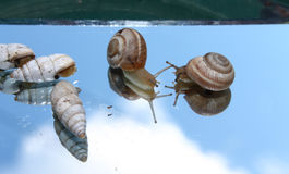 Mirror snail Stock Photos