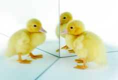 Mirror surprise. 4 days old easter duckling looking at his own reflection Royalty Free Stock Image