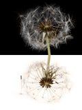 Mirrored dandelion Stock Image