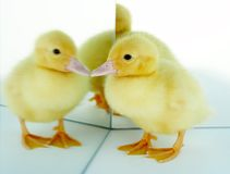 Mirrored duckling Stock Photography