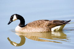 Mirrored Goose Stock Photography