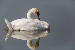 Mirrored mute swan Cygnus olor Royalty Free Stock Photos