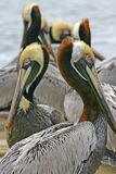 Mirrored Pelicans Royalty Free Stock Image
