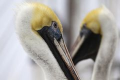 Mirrored pelicans Royalty Free Stock Photography