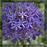 Mirrored purple allium flower royalty free stock image