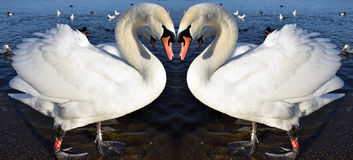Swan Heart. Photo of Swans at Lake In Shape Of Love Heart Stock Photo