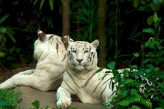 Mirrored tiger Royalty Free Stock Photos