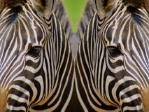 Mirrored Zebras. Mirrored image of zebras depicting concept of black and white diversity stock photography