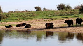 Mirroring Galloway cows in Bisonbaai, Netherlands Royalty Free Stock Photo
