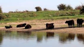 Mirroring Galloway cows in Bisonbaai, Netherlands stock footage