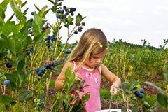 Mirtilli di raccolto della ragazza Fotografia Stock Libera da Diritti
