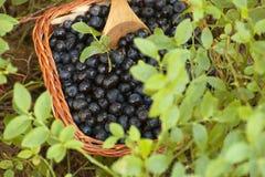 Mirtilli freschi con vegetazione generica Fotografia Stock Libera da Diritti