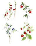 Mirtilli, mirtillo rosso, illustrazione dell'acquerello delle fragole Fotografia Stock Libera da Diritti