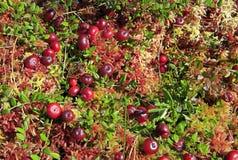 Mirtilli rossi che crescono nella palude Fotografia Stock Libera da Diritti