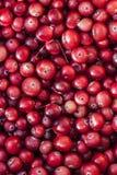 Mirtilli rossi della foresta, fine sulla vista Fotografie Stock
