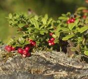 Mirtilli rossi delle bacche su un ceppo Fotografia Stock
